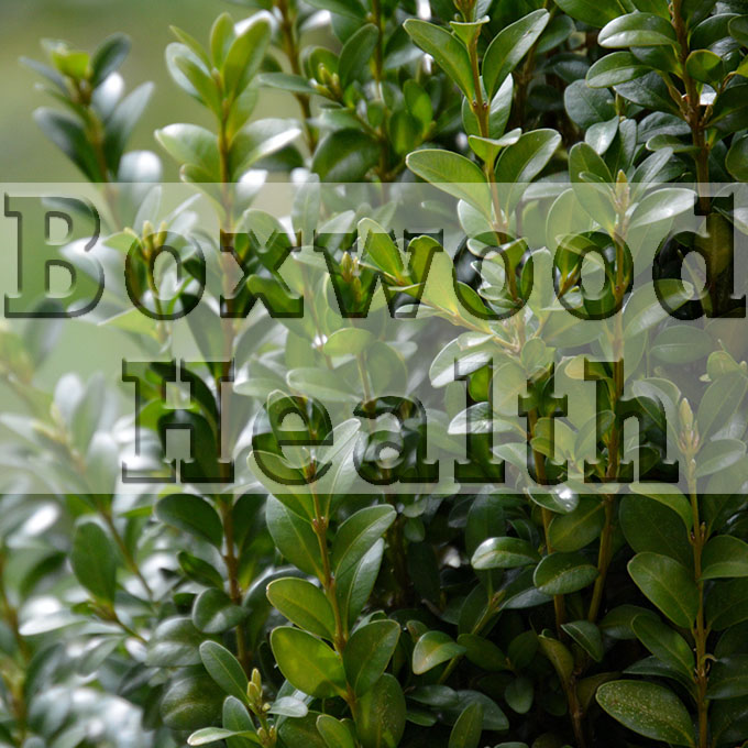 Boxwood Health